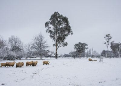 Snow sheep-4240Website